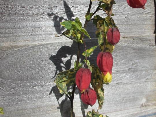 Abutilon  (Abutilon megapotamicum variegata)