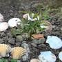 Mahonia fortunei (Mahonia fortunei)