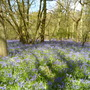 Bluebells_april_2016_004