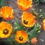 Apeldoorn Elite 4 (tulipa Darwin)