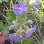 Geranium Russian Giant (Geranium platypetalum)
