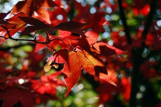 Acer palmatum 'Osakazuki' (Acer palmatum)
