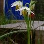 Fritillaria_liliacea_2016