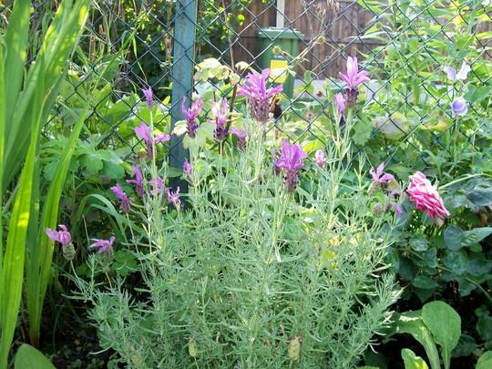 French Lavender (Lavandula papillon)