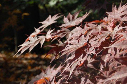 Acer palmatum 'Bloodgood' (Acer palmatum)