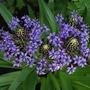Scilla  peruviana Caribbean Jewels Sapphire... (Scilla peruviana (Cuban Lily))