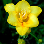Yellow fresia