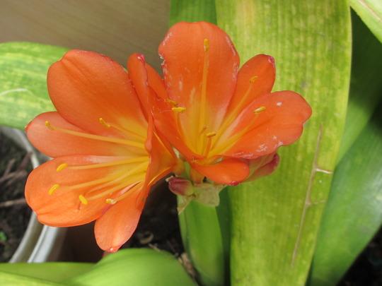 In the conservatory, Clivia (Clivia miniata (Clivia))