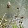 First little ducklings seen today at Cromford Canal.