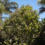 Mango Tree (Mango Tree)