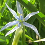 Camassia leichtlinii (Camassia)