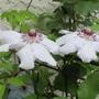 Clematis miss bateman (clematis miss bateman)