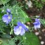 Linum usitatissimum/ flax flower (Linum usitatissimum)