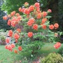Very orange Azalea Gibraltar (Azalea Gibraltar)