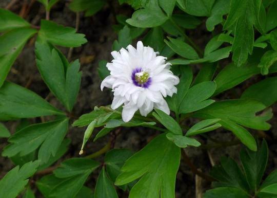 Anemone nemorosa 'Blue Eyes' - 2016 (Anemone nemorosa)