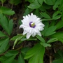Anemone_nemorosa_blue_eyes_2016