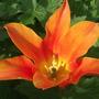 Ballerina (Tulipa Lily)