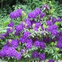 "Rhododendron ""Blue Boy"""