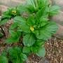 Scopolia carniolica - 2016 (Scopolia carniolica)