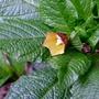 Scopolia carniolica (close-up) - 2016 (Scopolia carniolica)