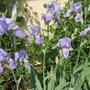 Smell that scent (Iris germanica (Orris))