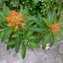 Euphorbia_griffithii_fireglow_2016