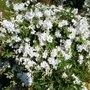 Exochorda macrantha   ...The Bride... (Exochorda x macrantha (Pearl bush))