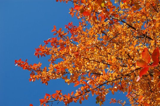 Autumn Sky (Nyssa sylvatica)