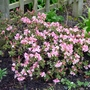 Rhododendron_campylogynum_patricia_2016