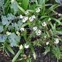 Ledum groenlandicum 'Compactum' - 2016 (Ledum groenlandicum)