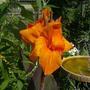 First Orange Canna