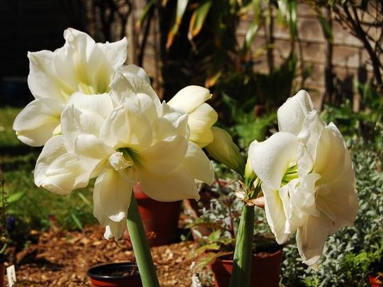 Hippeastrum (Amaryllis belladonna (Belladonna lily))