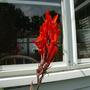 First Red Canna