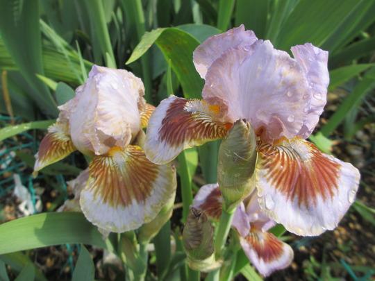 "Intermediate Bearded Iris ""Langport Storm"" (Iris intermediate)"