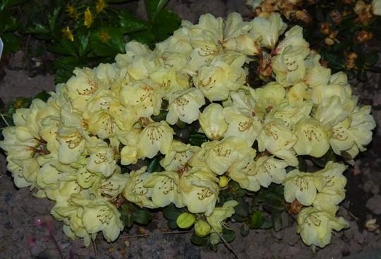 Rhododendron 'Wren' (Dwarf)