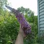 """Buddleia """" pink delight """""""