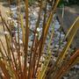 Libertia peregrinans (New Zealand Iris) X2