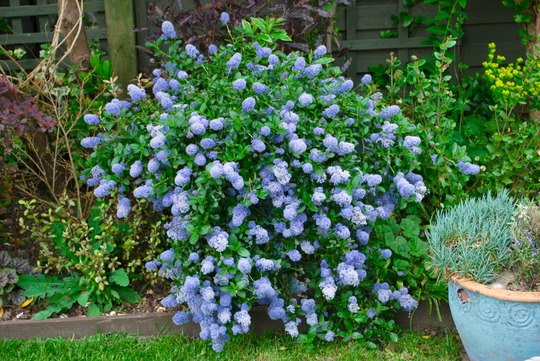 Ceanothus.....Blue Jeans.... (Ceanothus burkwoodii (California lilac) Blue Jeans)