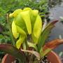 """Sarracenia flava (Sarracenia flava rugelli """"Black Water Florida"""")"""