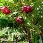 Paeonia delavayi - 2016 (Paeonia delavayi)