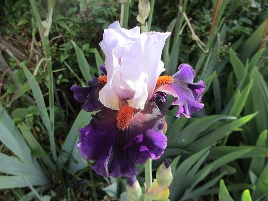 Tall bearded Iris 'Sharpshooter' (Iris germanica (Orris))