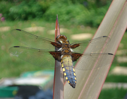 Wide-Bodied Libellula