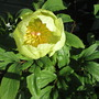 Paeony The Witch (Paeonia mlokosewitschii (Golden Peony))