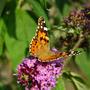 Tortoise shell butterfly (Buddleja davidii (Butterfly bush))