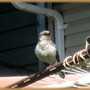 Mockingbird in Song