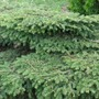 Bird's Nest Evergreen 15 years after planting