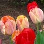 Good-Bye Tulips until next year