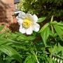 Paeonia emodi - 2016 (Paeonia emodi)