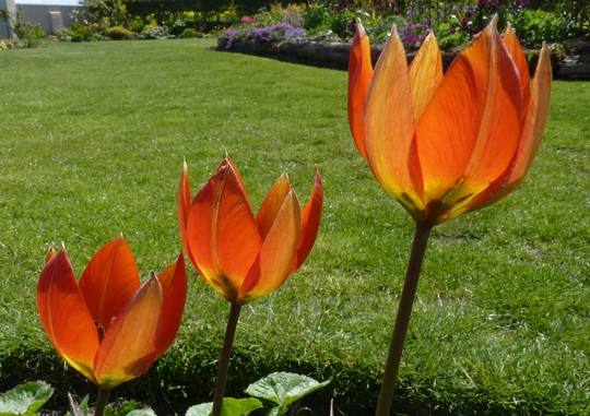 Tulipa whitallii - another species tulip.  I love the colours in it. (tulip whitallii)