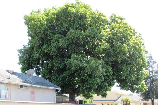 The Biggest Avocado in the neighborhood. (Persea americana (Avocado))